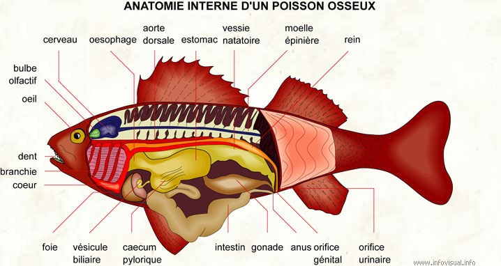 poissons osseux exemples